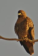 Morphed Photo Prints - Red-tailed Hawk Rufous-morphed Print by Sara Edens