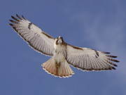 Red-tailed Hawk Prints Posters - Red-tailed Hawk - Searching to Survive Poster by Travis Truelove