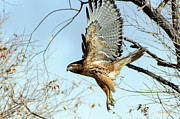 Stephen  Johnson - Red Tailed Hawk Sequence...