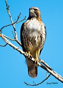 Stephen  Johnson - Red Tailed Hawk Standing...