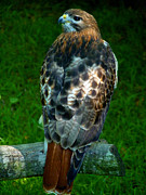 Red Tail Hawk Art - Red-Tailed Hawk by Susan Duda