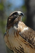 Red Tail Hawk Photographs Posters - Red-Tailed Hawl 267 Poster by Joyce StJames