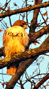 Red Tail Hawk Photo Photos - Red Tailed by Michelle Milano