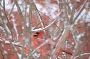 Cardinals. Wildlife. Nature. Photography Photos - Red Tangle by Marianne Kuzimski