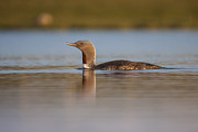 Birdwatching Originals - Red-throated diver Gavia stellata by Gabor Pozsgai