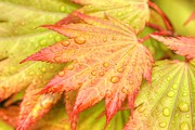 Taponphoto Posters - Red Tip Leaf Poster by Marcia Fontes Photography