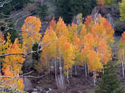 Margaret  Slaugh - Red Topped Aspens