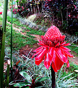 Red Torch Ginger Flower Two Print by Tina M Wenger