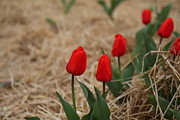 Red Photo Metal Prints - Red Tulip - 01132 Metal Print by DC Photographer