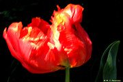 M C Sturman - Red Tulip Blurred