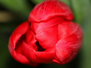 Inna Samoilova - Red tulip