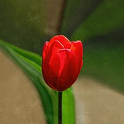 Red And Green Photo Posters - Red Tulip Spring Flower Poster by Tracie Kaska