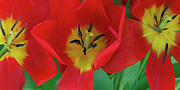 Colors Acrylic Prints - Red Tulip Trio by Ben and Raisa Gertsberg