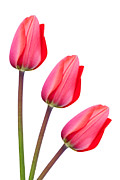 Striking Photography Digital Art Prints - Red Tulip Trio Print by Natalie Kinnear