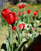 Perrenials Prints - Red Tulips 5D22406 Print by Wingsdomain Art and Photography
