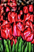Tulips Digital Art Posters - Red Tulips Poster by Bill Cannon