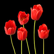 Colorful Photos Digital Art Prints - Red Tulips Black Background Print by Natalie Kinnear