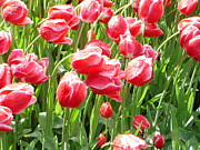 Donna Jackson - Red Tulips Dew Song