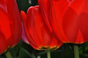Diane Lent - Red tulips in sunlight