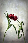 Red Leaf Posters - Red Tulips On A Letter Poster by Joana Kruse