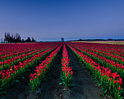 Open Area Prints - Red Tulips Rows Print by Puget  Exposure