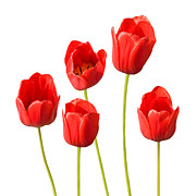 Colorful Photos Digital Art Posters - Red Tulips White Background Poster by Natalie Kinnear