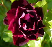 Red Velvet Rose Print by Christiane Schulze