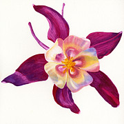 Watercolor Painting Originals - Red Violet Columbine Square Design by Sharon Freeman