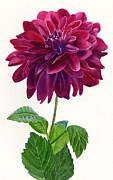 Red Violet Dahlia Blossom Print by Sharon Freeman