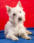 Westie Pup Posters - Red White and Blue Westie Poster by Edward Fielding