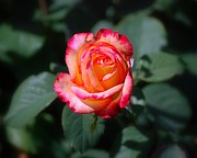 Catherine White Photo Prints - Red White and Yellow Rose Print by Catherine Sherman