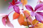 Jenny Rainbow - Red Wild Grape Leaves