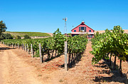 Grape Vineyards Posters - Red Wine Barn - Beautiful view of wine vineyards and a Red Barn in Napa Valley. Poster by Jamie Pham