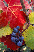 Grapevine Red Leaf Photo Posters - Red wine grapes and leaves in fall  Poster by Gary Crabbe