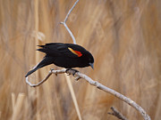Red-winged Blackbird Framed Prints - Red Winged Blackbird 1 Framed Print by Ernie Echols