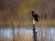 Blackbird Digital Art Posters - Red Winged Blackbird 2 Poster by Ernie Echols