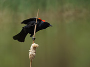 Blackbirds Posters - Red Winged Blackbird 3 Poster by Ernie Echols