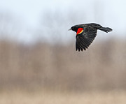 Red-winged Blackbird Framed Prints - Red-winged Blackbird in Flight Framed Print by Thomas Young