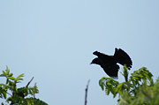 Red Winged Blackbird In Taking Off Print by Andrew Lahay
