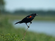 Appleton Prints - Red-winged Blackbird Landscape Print by Melissa Peterson