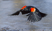 Birds - Red winged blackbird by Mircea Costina Photography