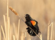 Colliseum Posters - Red Winged Blackbird on Cattail Poster by Daniel Behm