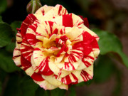 Close-up Prints - Red Yellow Rose Print by Christine Till