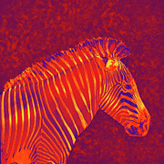 Zebra Digital Art - Red Zebra by Jane Schnetlage