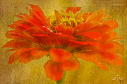 Carol F Austin - Red Zinnia Essence
