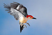Birds In Flight Photos - Redbellied Woodpecker by Bill  Wakeley