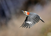 Nava Jo Thompson - Redbelly Woodpecker...