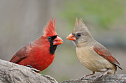 Female Northern Cardinal Photos - Redbird Encounter by Bonnie Barry