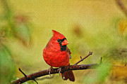 Red Cardinal Framed Prints - Redbird Framed Print by Karol  Livote
