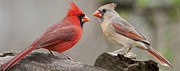 Female Northern Cardinal Posters - Redbird Panorama Poster by Bonnie Barry